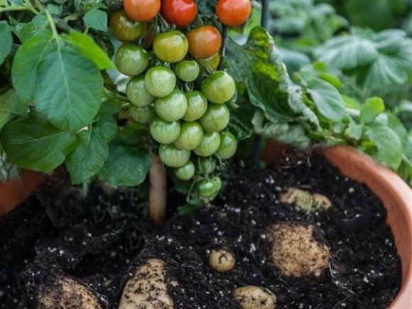 ТомТато - гібрид томата й картоплі фото, ілюстрація
