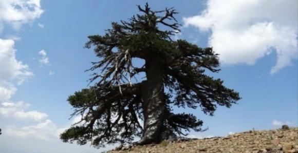 Ученые обнаружили самое старое живое дерево (ФОТО) фото, иллюстрация