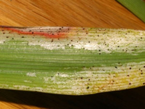 Агролайфхак: как определить наличие трипса на пшеничных полях фото, иллюстрация