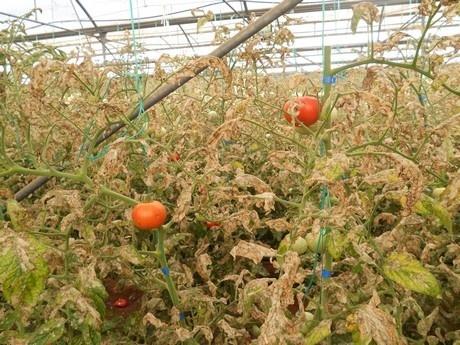 Европейский консорциум создает биологический метод борьбы с томатной минирующей молью Tuta absoluta фото, иллюстрация