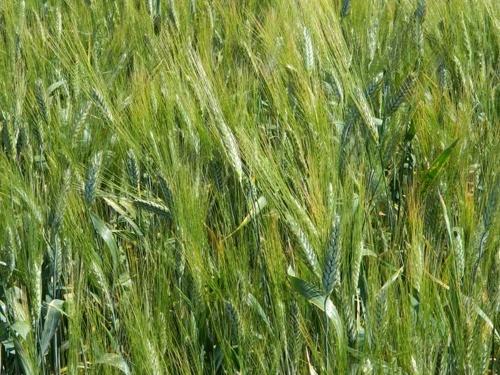 В Україні завершено сівбу ярих зернових культур фото, ілюстрація