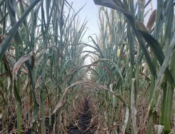 Кукурудза на Черкащині догоряє через спеку та посуху, — фермер фото, ілюстрація