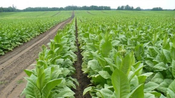Сумський фермер почав вирощувати органічний тютюн, з якого виготовлятиме льодяники для боротьби із залежністю від куріння фото, ілюстрація