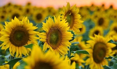 Масове вирощування соняшнику шкодить ґрунту фото, ілюстрація