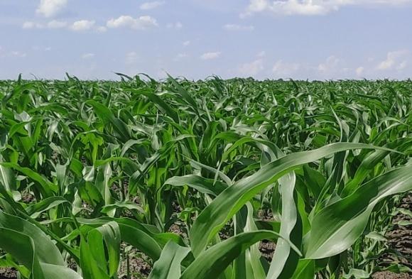 Важливість забезпеченості кукурудзи цинком у сезоні — 2020 фото, ілюстрація