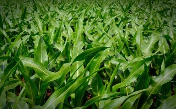 Надійне рішення проти шкідників кукурудзи фото, ілюстрація