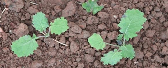 Защищаем рапс озимый от сорняков на ранних этапах вегетации фото, иллюстрация