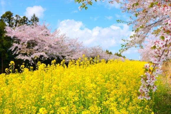 Інсектицидний захист посівів ріпаку озимого та садів під час цвітіння фото, ілюстрація