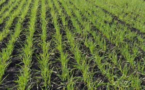 Осенняя защита озимых зерновых культур от болезней фото, иллюстрация
