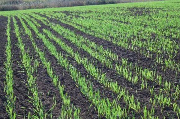 Решение против осенней засоренности озимых зерновых культур фото, иллюстрация