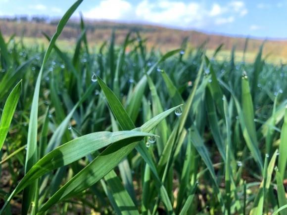 Контролюємо хвороби зернових колосових культур фото, ілюстрація