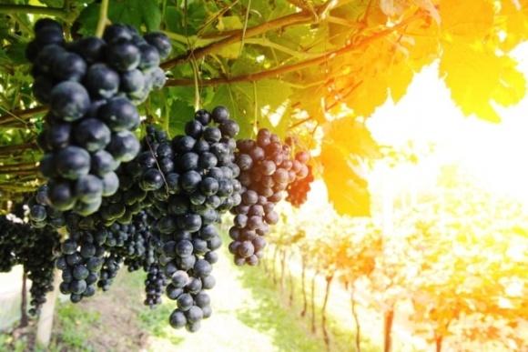 Контроль опасных болезней винограда  фото, иллюстрация