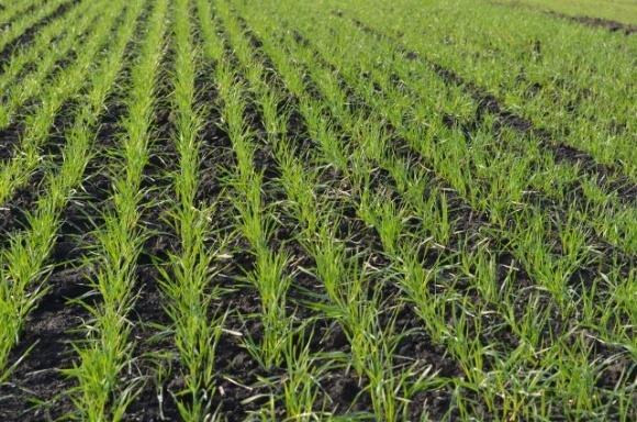 Особливості осіннього підживлення озимих зернових культур фото, ілюстрація
