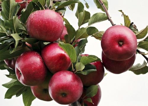 Ціни на яблука в Україні протягом травня зросли в 1.5-2 рази фото, ілюстрація