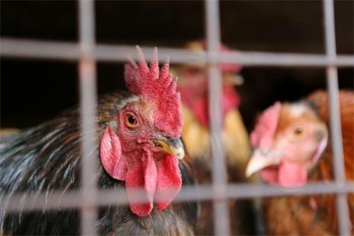 Украина вошла в тройку крупнейших экспортеров курятины в ЕС фото, иллюстрация
