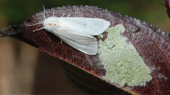 Поява нових осередків американського білого метелика в Україні фото, ілюстрація