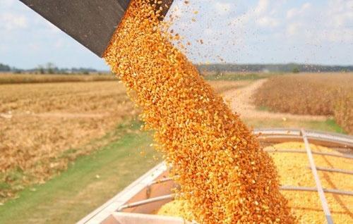 Врожай кукурудзи-2019 в Україні не стане рекордним фото, ілюстрація