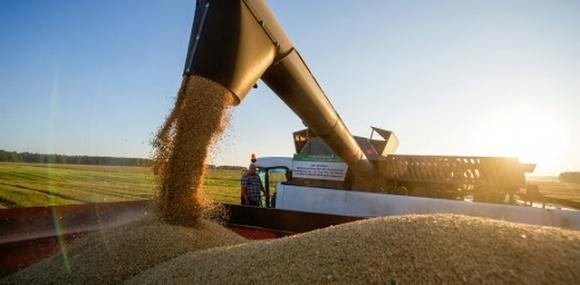 Частка плюсклого зерна в урожаї озимих подекуди сягає 20-50% фото, ілюстрація