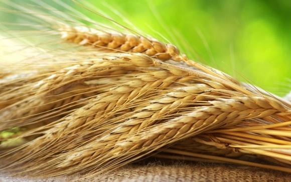 В Україні підвищилася середня врожайність зернових фото, ілюстрація