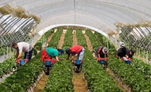 В Британии зовут местных на сбор урожая. Мигранты-работники не приедут фото, иллюстрация