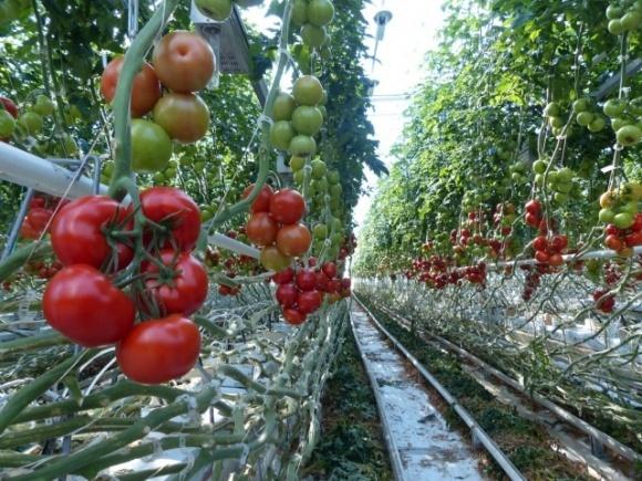 У Великобританії на 320 тисяч фунтів згнило продукції в теплицях у найбільшого постачальника овочів закритого ґрунту    фото, ілюстрація