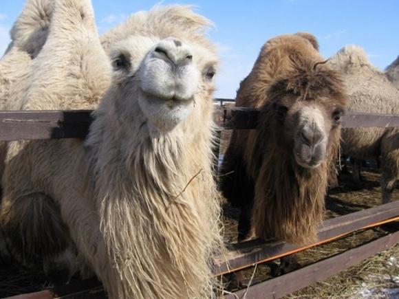В Казахстане строят завод по переработке верблюжьего молока за $23,5 млн фото, иллюстрация