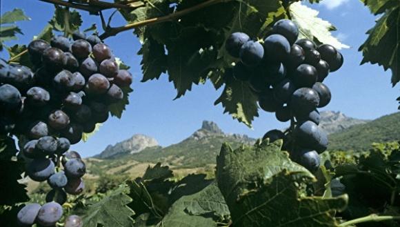 В Крыму стихия повредила виноградники «Массандры» фото, иллюстрация