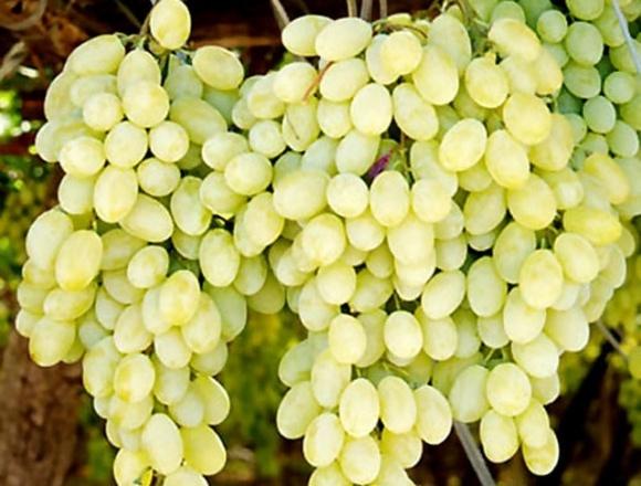Украинский столовый виноград уже продается фото, иллюстрация