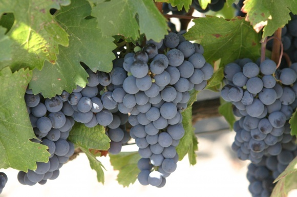 Виноград в закрытом пространстве растет быстрее фото, иллюстрация