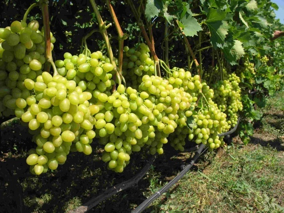 У Севастополі зібрали майже весь виноград фото, ілюстрація