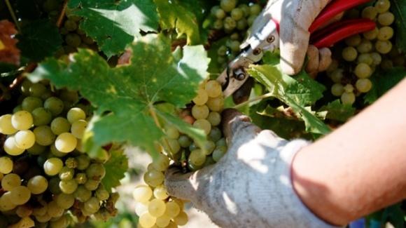 Зеленский ввел в Украине праздник для тех, кто умеет делать вино фото, иллюстрация