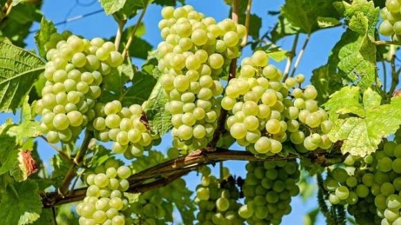 В Украине переработка винограда уменьшилась на 39% фото, иллюстрация