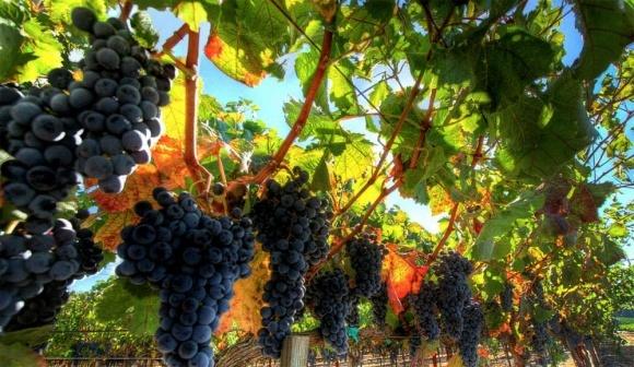 Українським виноградникам потрібна держпідтримка фото, ілюстрація