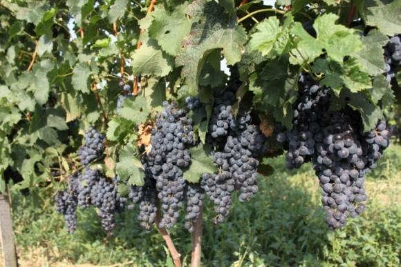 За 26 лет виноградники на Закарпатье сократились вдвое (Инфографика) фото, иллюстрация