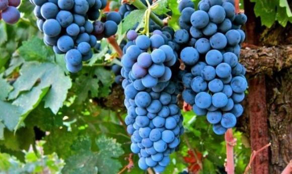 Миколаївські виноградарі зберуть урожай у 1,5 рази більший, аніж торік фото, ілюстрація