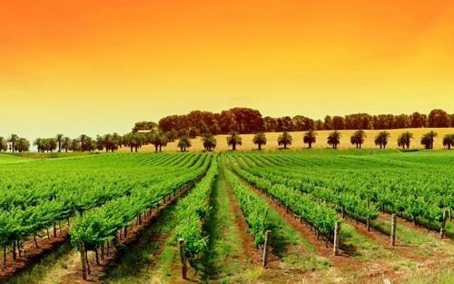 Определены претенденты на господдержку виноградарства, садоводства и хмелеводства, - Минагрополитики фото, иллюстрация