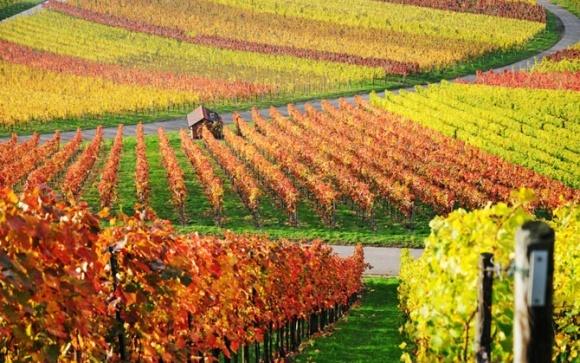 Кількість угідь під виноградниками опустилась до критичої межі, - М.Агафонов фото, ілюстрація