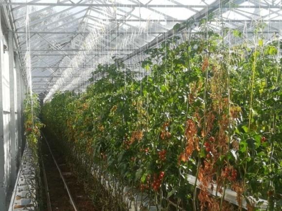 Опасный вирус томатов — новая мировая угроза  фото, иллюстрация