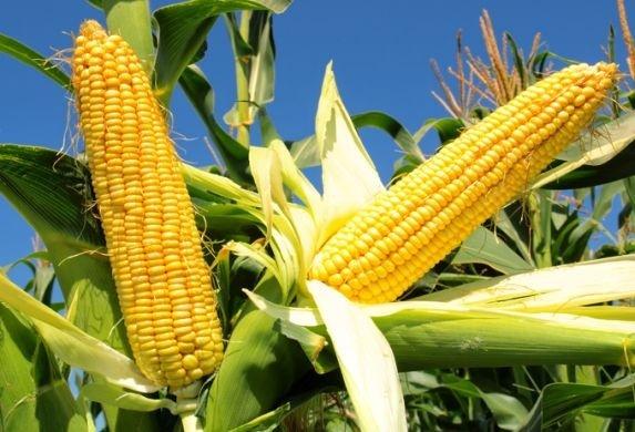 Темпи сівби кукурудзи на 24% вище, ніж в минулому році фото, ілюстрація