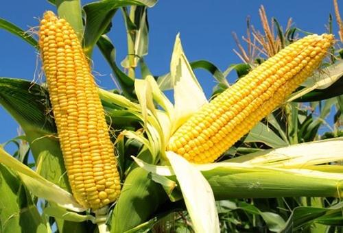 С начала мая отмечается непрерывный рост экспортных цен на украинскую кукурузу фото, иллюстрация