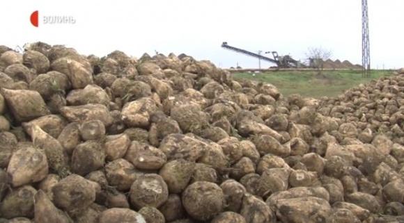 Один із лідерів в Україні за урожайністю цукрових буряків завершив збір коренеплодів фото, ілюстрація