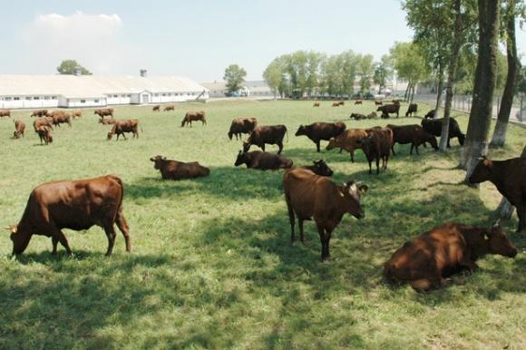 На Запорожье наращивают поголовье крупного рогатого скота фото, иллюстрация