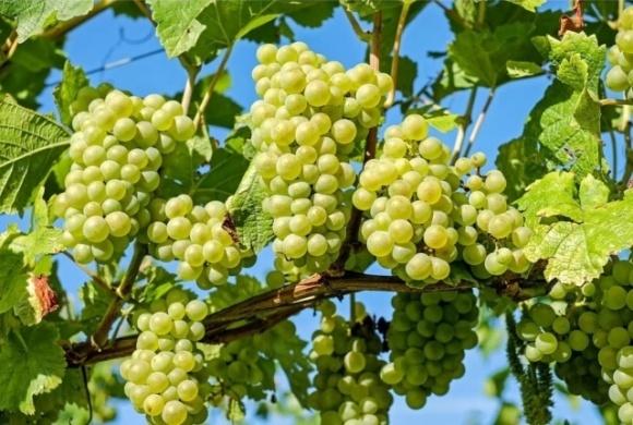 Українські виноградарі та винороби закликають владу країни знизити податкове навантаження і запровадити мита на імпорт фото, ілюстрація
