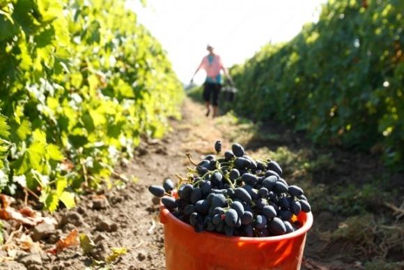 Парламентарі зробили крок до стимулювання розвитку виноградарства в Україні фото, ілюстрація