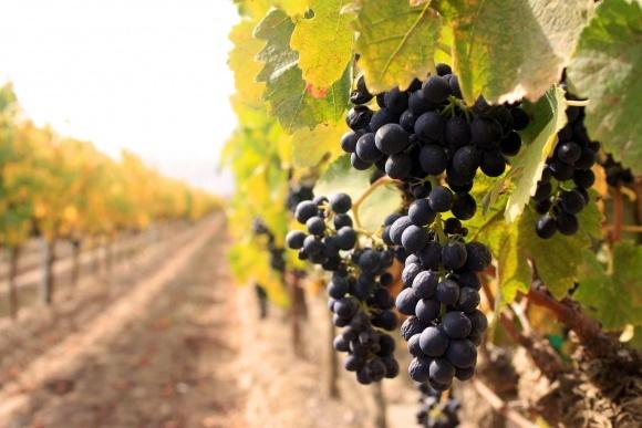 Собівартість винограду у сезоні-2016 підвищилася на 40% фото, ілюстрація