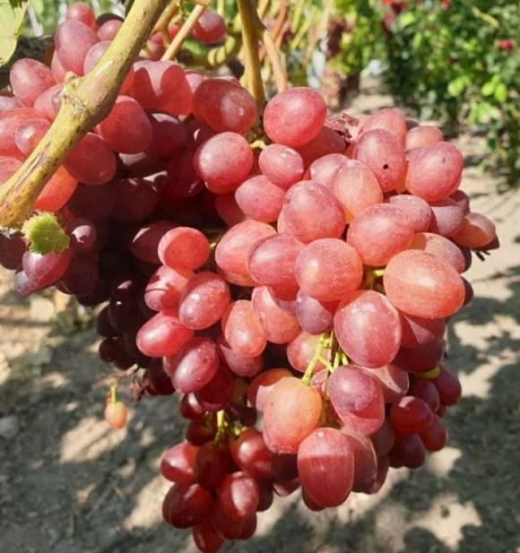 В Хмельницкой области хозяин выращивает 200 сортов винограда из разных уголков мира фото, иллюстрация