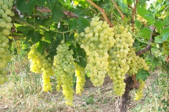 Виноград випередив інші фрукти за темпами зростання цін фото, ілюстрація