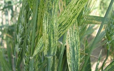 Почему Винницкая кукурудза непригодна для экспорта в Китай? фото, иллюстрация