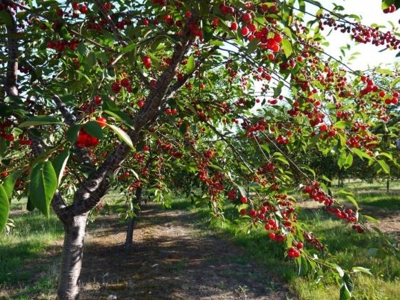 Украинская вишня появилась на отечественном рынке почти на 3 недели раньше, чем год назад фото, иллюстрация