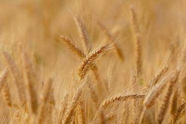 Прогноз врожаю зернових підвищено до 64 млн тонн фото, ілюстрація